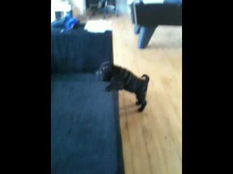 Shar Pei Puppy Trying to Jump on a Sofa