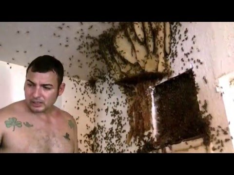 Extreme Honey Bee Hive removal- Exposed Hive in McAllen,TX by Luis Slayton of Bee Strong Honey  4