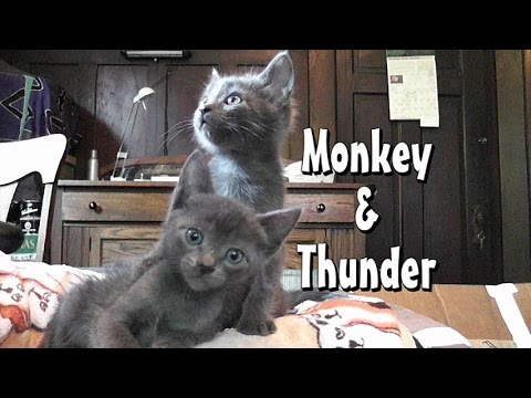 From Kittens To Adult Cats - Monkey & Thunder Turn 3