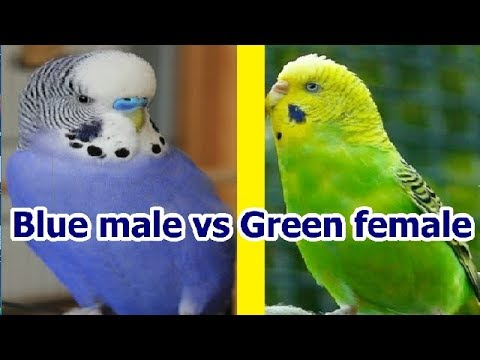 How Red eye budgies come from Normal Budgies | Australian parrots cross breeding tips