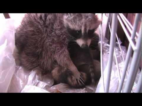 Baby Raccoons - Raccoonarama