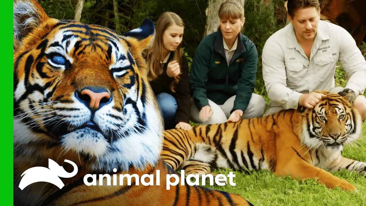 Australia Zoo's Tiger Conservation Programme   Crikey! It's The Irwins