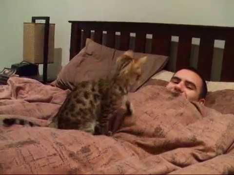 Bengal kitten goofball
