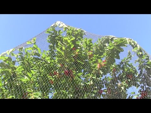 Quick review of Wilson's Anti Bird Netting - Protecting Fruit Trees