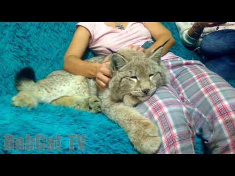 A GIRL IS PETTING HER LYNX