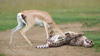 WORLD'S FASTEST ANIMALS FAIL! Grant's Gazzele Take Down Cheetah With Horns, Lion Hunt Imapala Fail