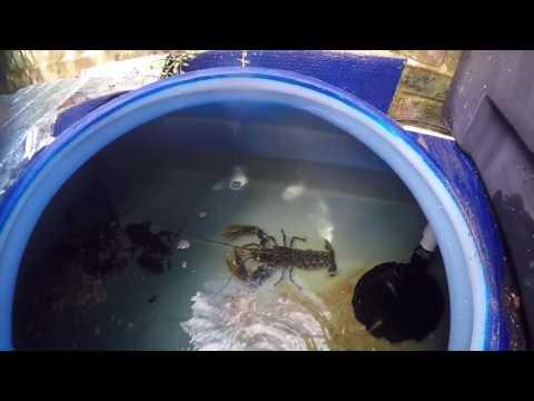 Live Lobster Tank