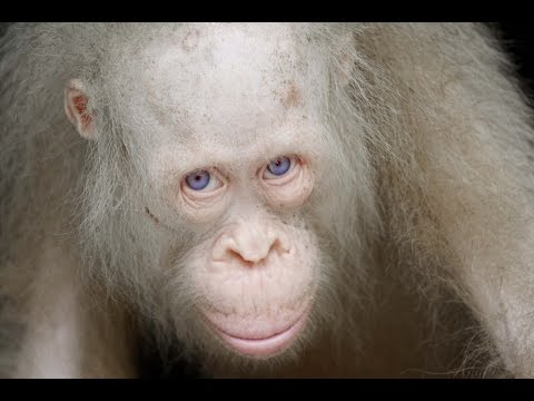Xxx Mp4 Albino Orangutan Rare Species 3gp Sex