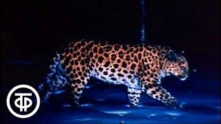 """Где зимуют леопарды. О работе заповедника """"Кедровая падь"""" в Приморье (1990)"""
