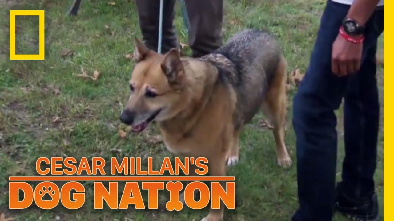 Keeping Roxie Calm in the Car | Cesar Millan's Dog Nation