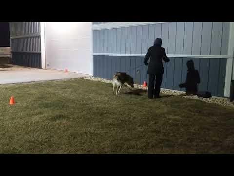 2018.01.13 - UKC Nosework - Elite Exterior - Trial 2 - Ronin