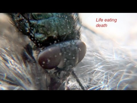 Flies eating a dead mouse