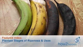 Plantain States Of Ripeness And Uses