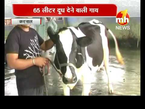 65 Liter . Milk in a Day By Cow