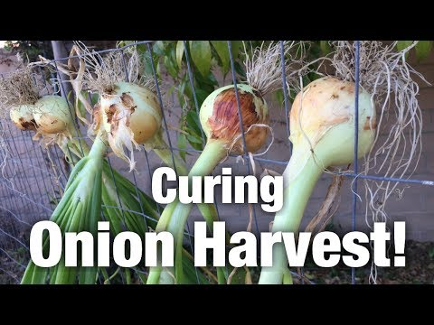Curing my Onion Harvest!