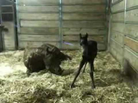 Foal's first squeal and standing!   YouTube