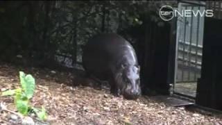 Cute Baby Pygmy Hippo