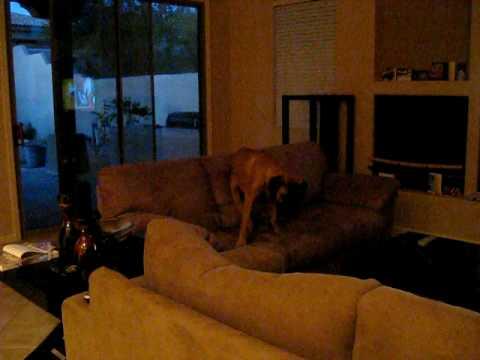 English Mastiff 7 months old temper tantrum