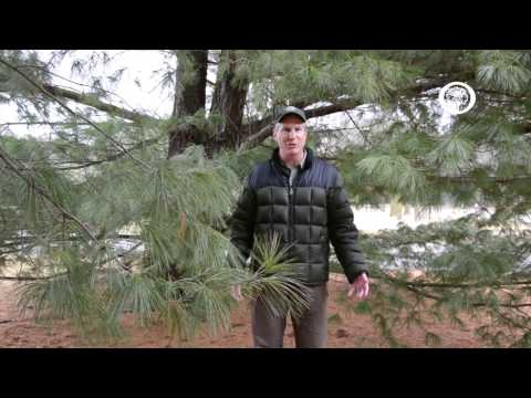 Ask an Arborist: why should I plant evergreens?