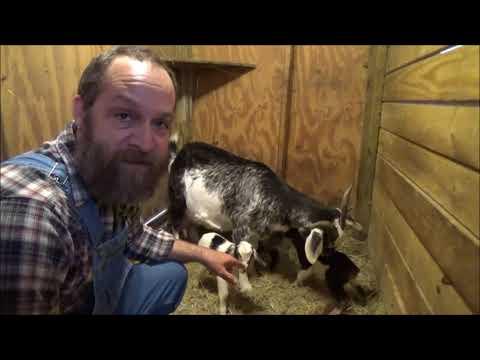 triplet goat birth 2018