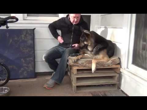 Aggressive German Shepherd Nail Trimming