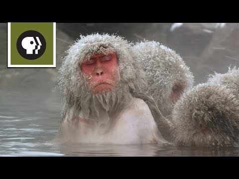 Snow Monkeys Soak in Hotsprings