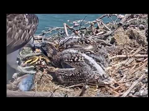 A Flopping Fresh Fish for the osprey chicks  June 4, 2017