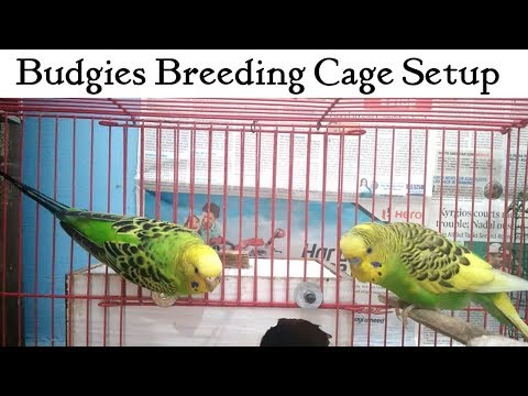 Ideal BREEDING CAGE SETUP for BUDGIES | HINDI| All About Pets | How to set up budgies cage? | Tips|