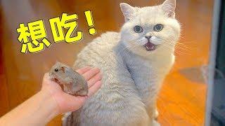 Download 小仓鼠正式入驻多猫家庭,与天敌一同生活会是什么样的体验? Video