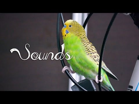 Most Beautiful Budgie songs Ever: Budgies singing and chirping