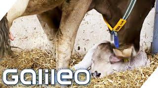 Schmeckt die Milch von glücklichen Kühen wirklich besser? | Galileo | ProSieben