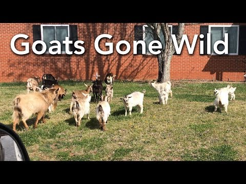 Goats Gone Wild - Cute Goat Herd on Mineral Springs Mountain