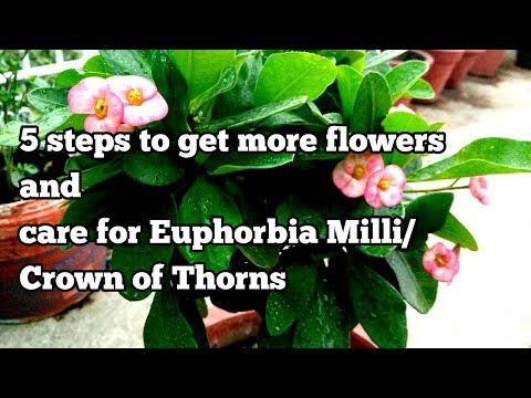 How to get more flowers and care for euphorbia milii/Crown of Thorns in 5 easy steps!  (With Update)