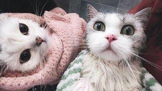 Download 【花花与三猫】铲屎官疯了同时洗2只猫,猫一直粗口,差点和主人打起来! Video