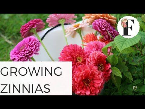 How to Grow Zinnias Growing Flowers from Seed Gardening Cut Flower Farm Freshcutky Summer easy