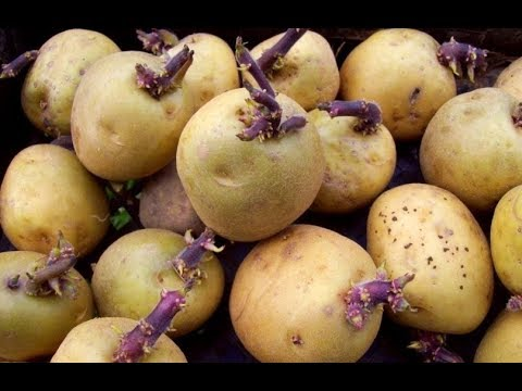 Grow potatoes at home with your kids, it's easy