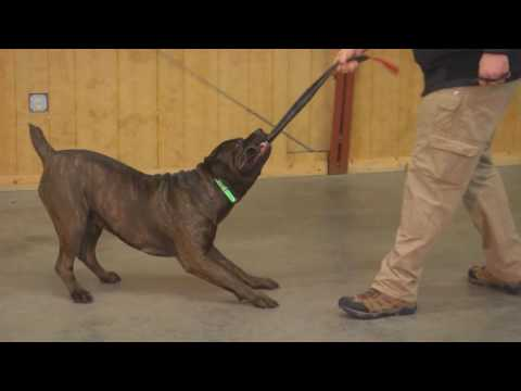 Protection Dog Training Other Breeds