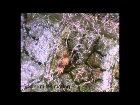 Apple Mites