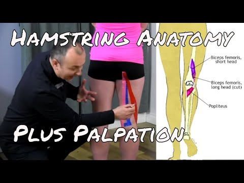 Anatomy & Palpation of the Hamstring Muscles