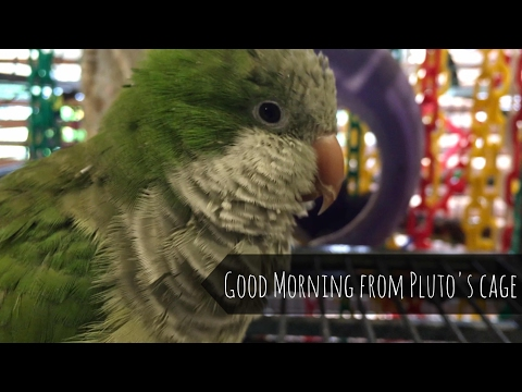 Good morning from Pluto the talking Quaker parrot