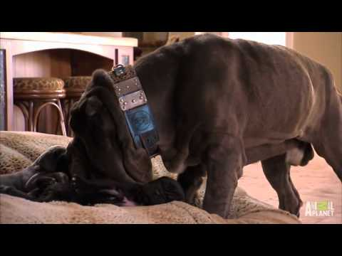 Neo Mastiff Puppies Play Hide and Seek from Dad  Too Cute