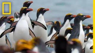 Macaroni Penguins Swim, Surf, and Dodge Seals to Survive – Ep. 2   Wildlife: Resurrection Island
