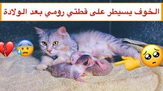 ولادة قطتي رومي 😦 وصلت لمرحلة تبي تاكل اولادها 😱💔 / Mohamed Vlog