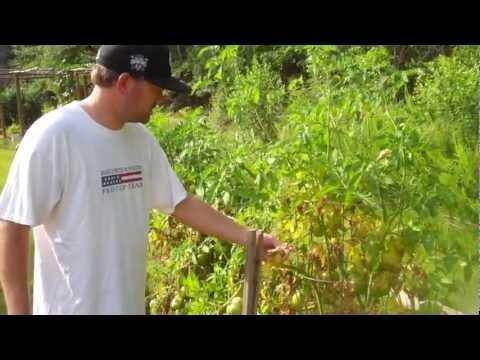 Fungus on Tomato Plant