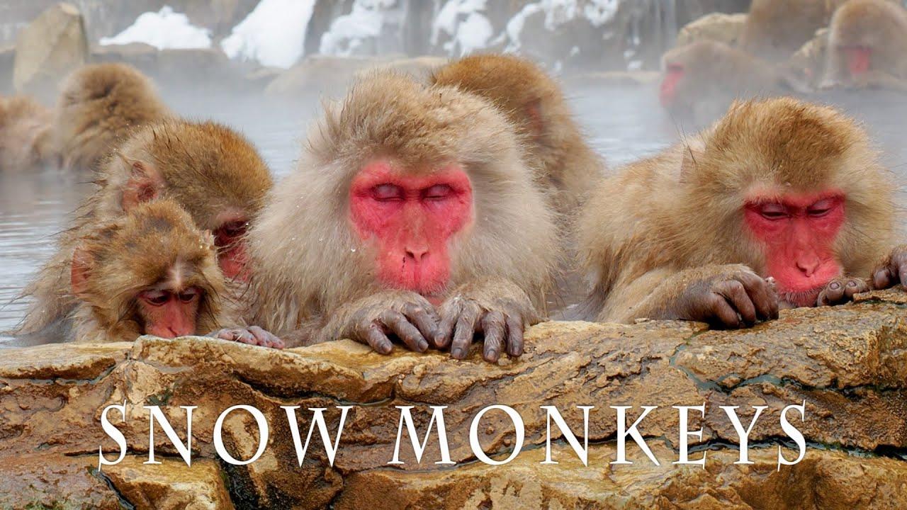 【4K Snowfall】SNOW MONKEY RESORTS 2021. #地獄谷野猿公苑 #4K