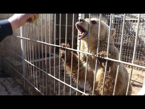 Xxx Mp4 Saving Simba And Lula Last Two Survivors Of Mosul Zoo 3gp Sex