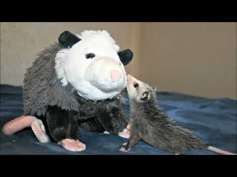 Lissy Possum