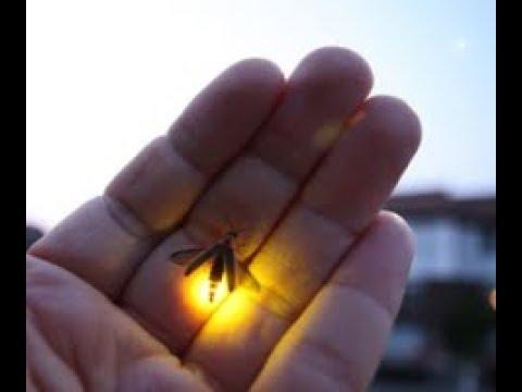 क्या आपने कभी Jugnu Or Jugnoo या Firefly Bug देखा है