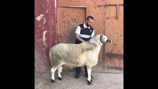 أكبر فحل صردي في المغرب من قلب مدينة البروج وصل وزنه إلى 164 kg ما شاء الله