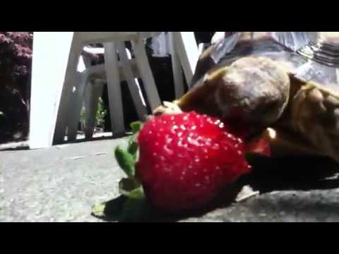 Baby tortoise  attacks strawberry